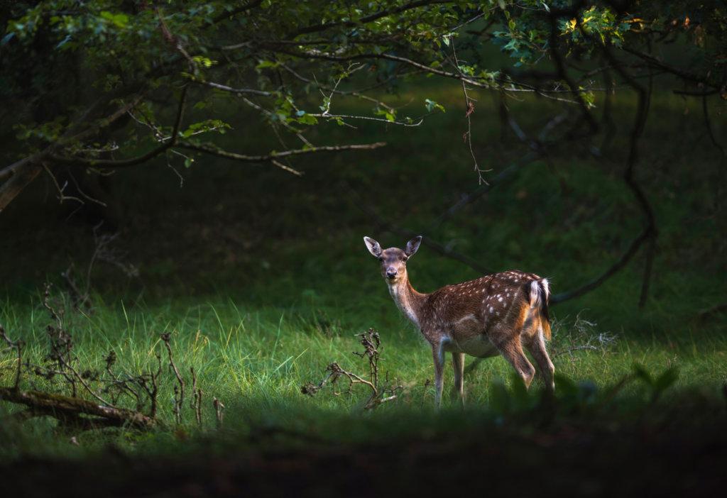 Deer spotting at Dinefwr Park Wales