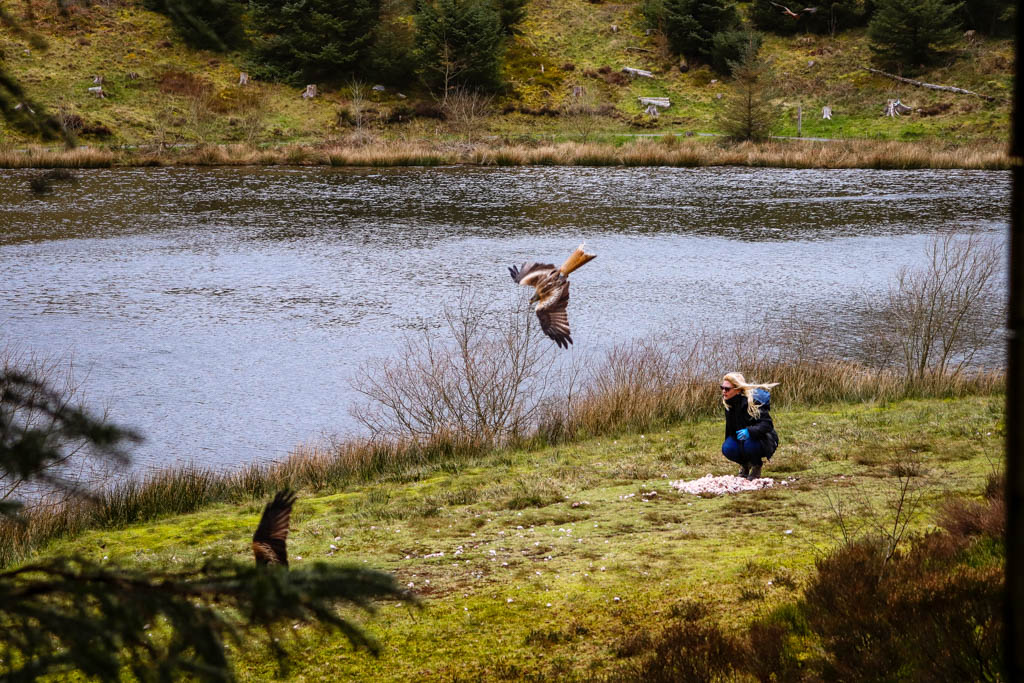 red kite feeding at Bwlch Nant yr Arian Visitor Centre Wales