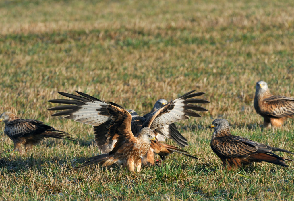 Feed red kites at Gigrin Farm